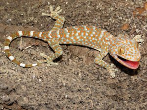 Tokay Geckos as Pets: Feeding, Terrarium Set-up, and Costs