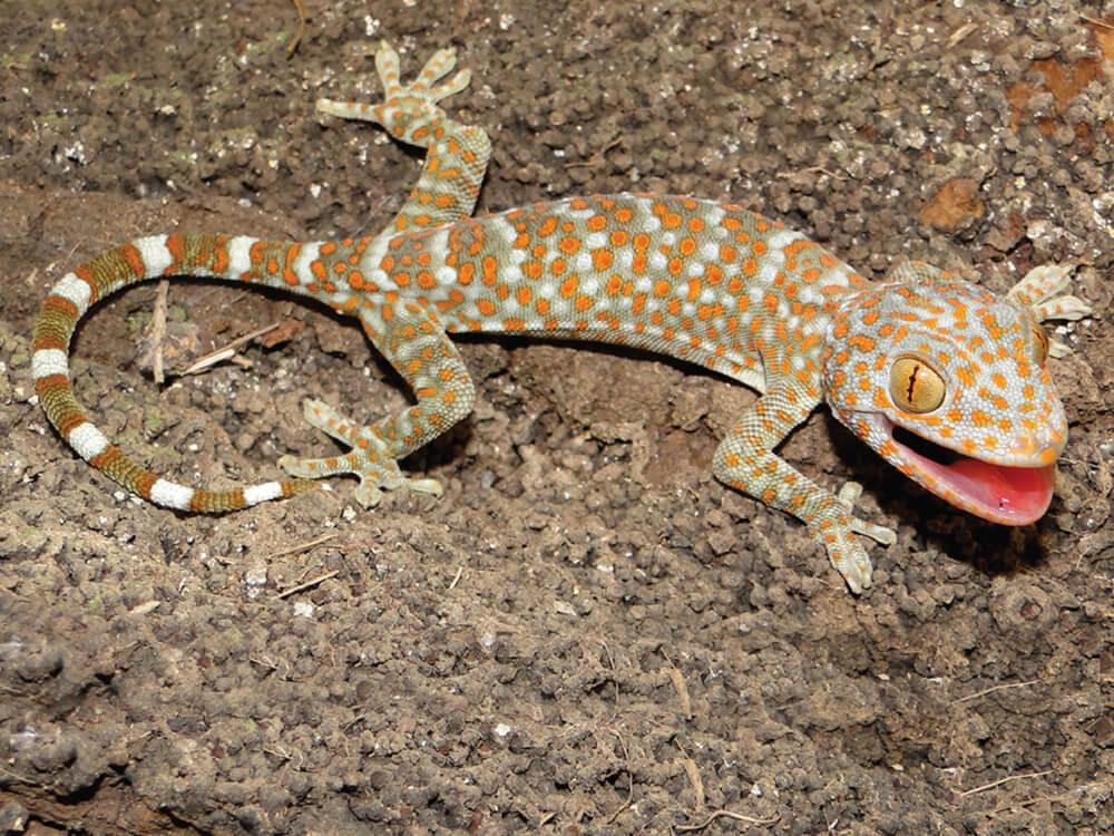 Tokay gecko 5