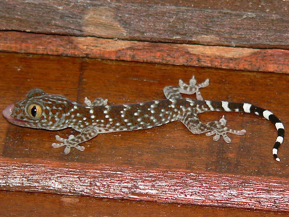 Tokay gecko 6