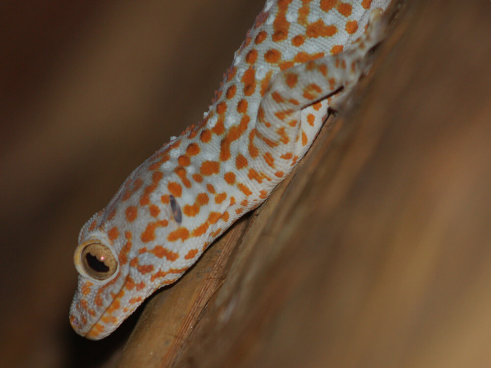 Tokay gecko 7