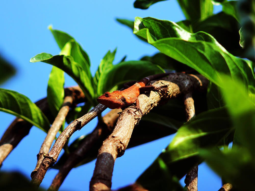 Tokay gecko 9