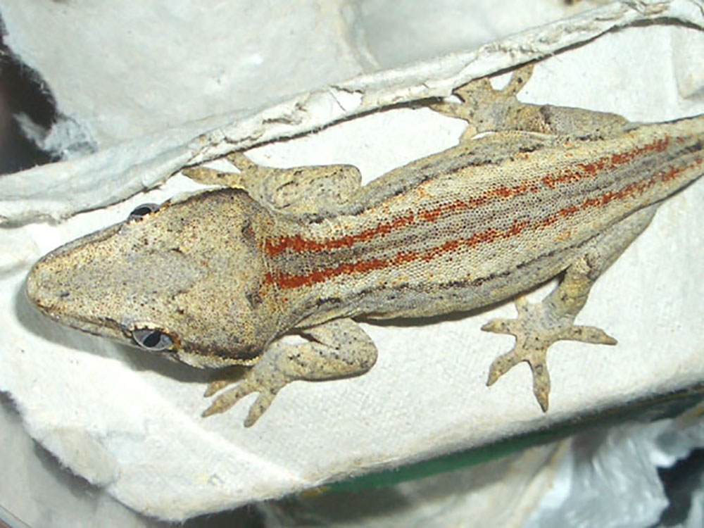 Getting a Gargoyle Gecko as a Pet