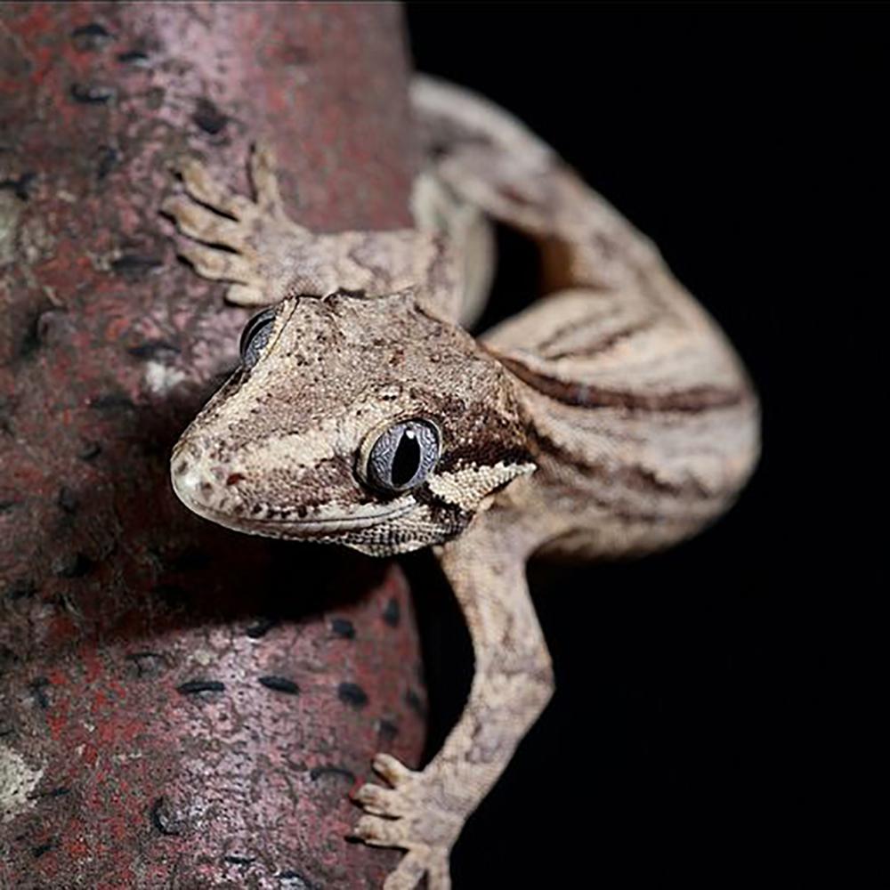 gargoyle gecko 5