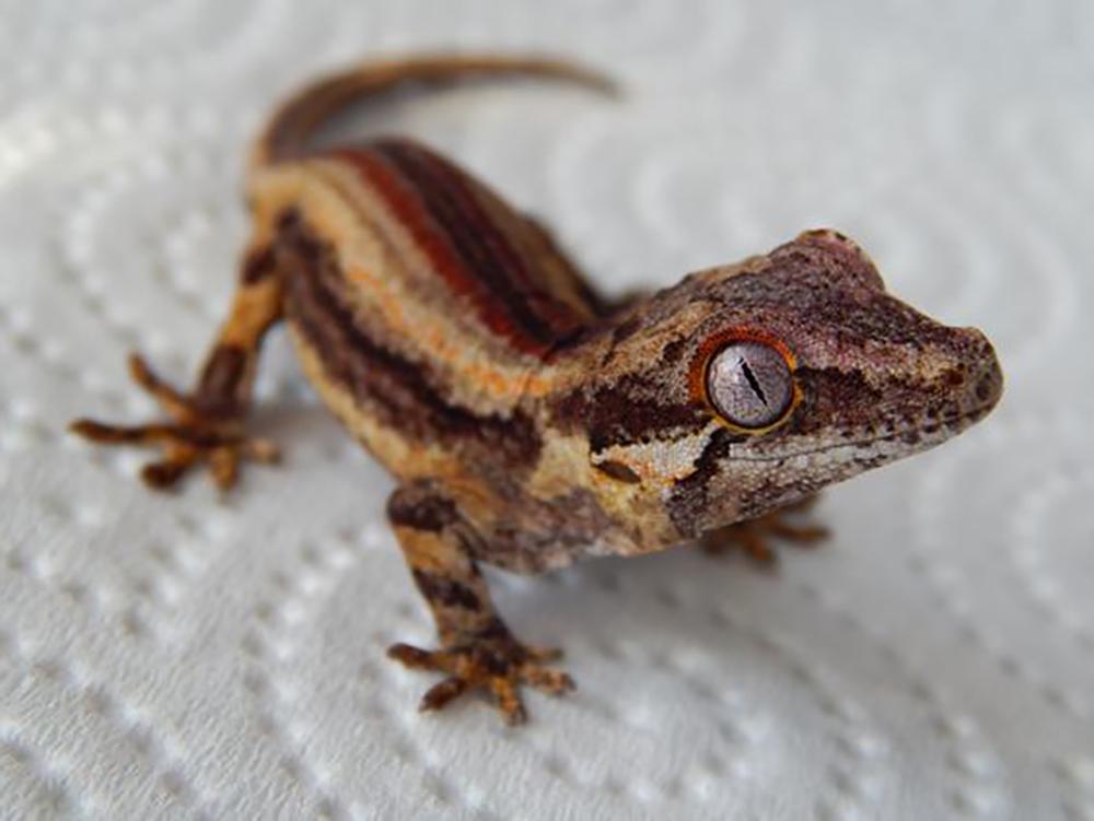gargoyle gecko 4