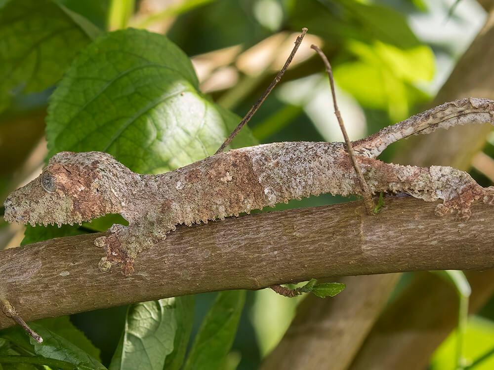 gecko 7