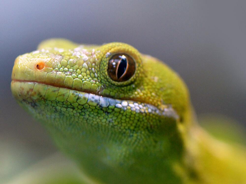gecko 8