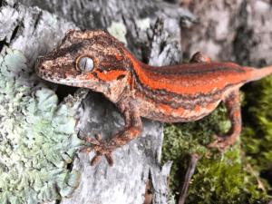 Getting a Gargoyle Gecko as a Pet