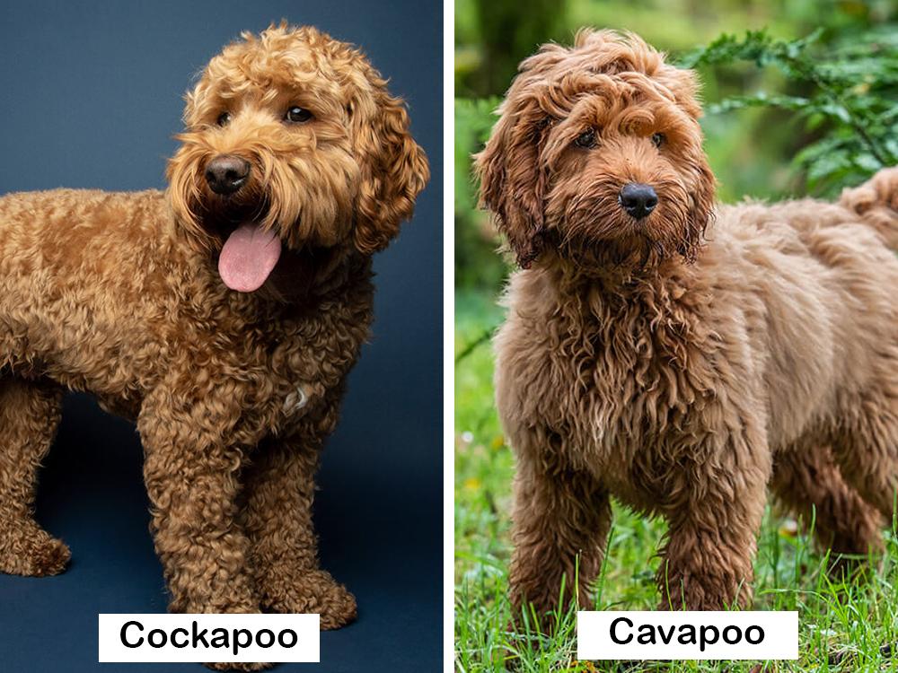 cockapoo-vs-cavapoo-7