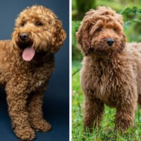 Cockapoo vs Cavapoo: Breed Comparison