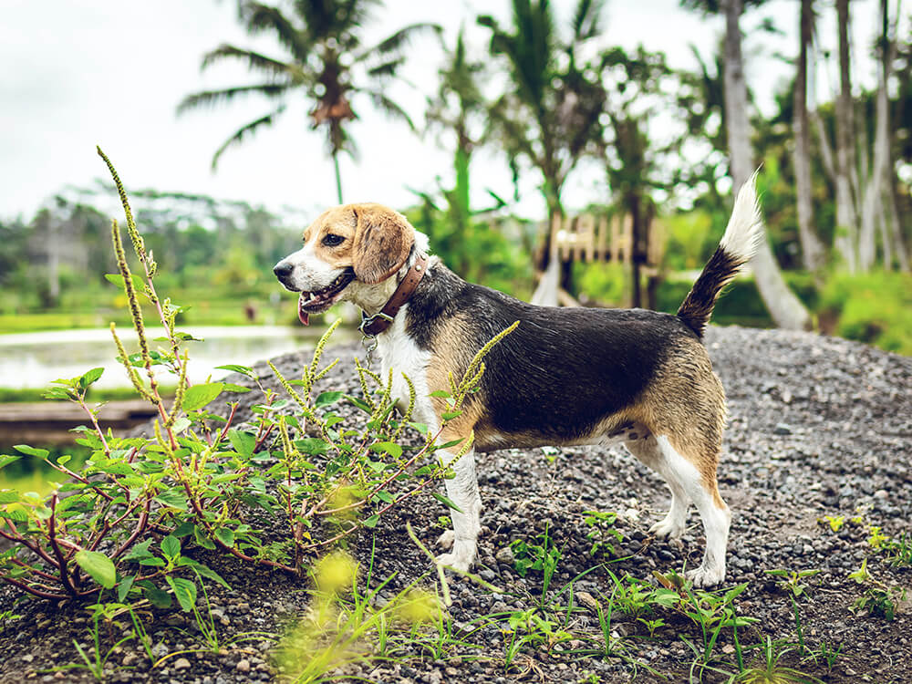 common characteristics of scent hounds