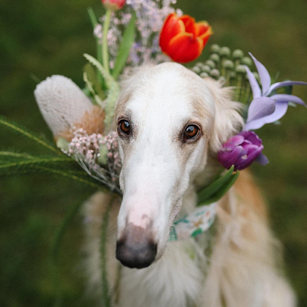 do sighthounds make good pets