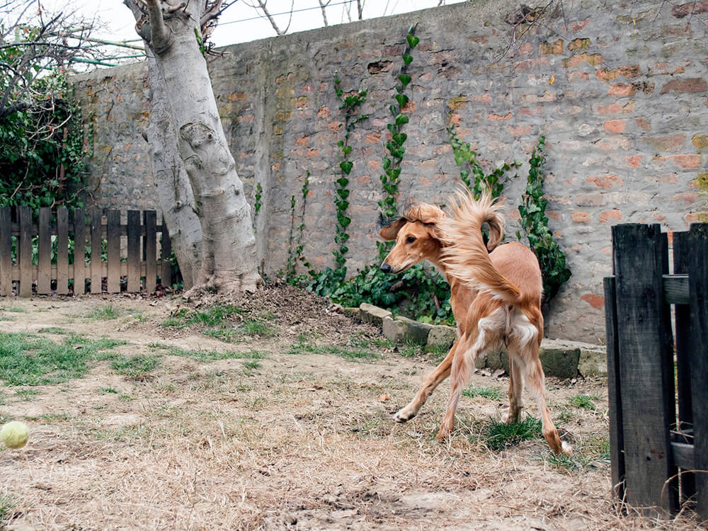 how to train a sighthound