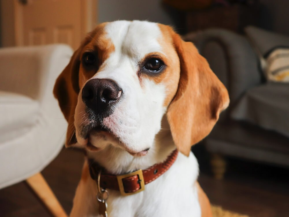 what dogs are scent hounds