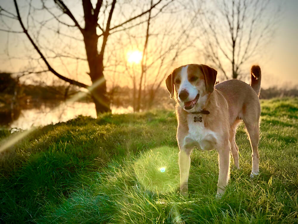 what is the personality of a scent hound dog