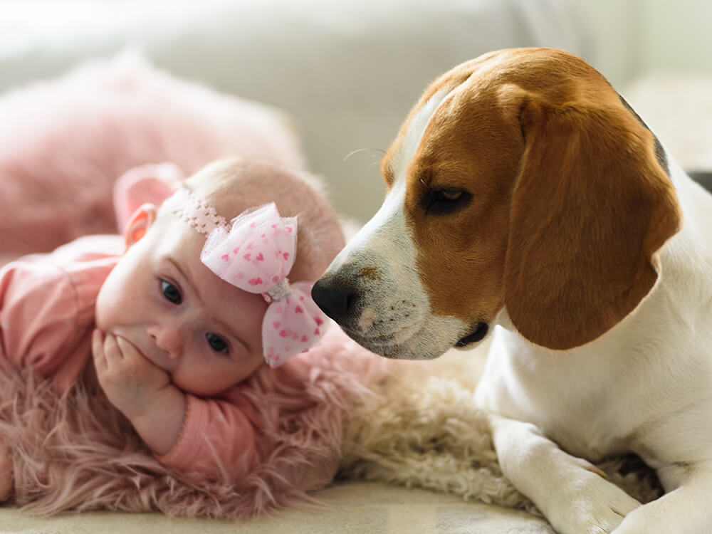 are beagles good family pets