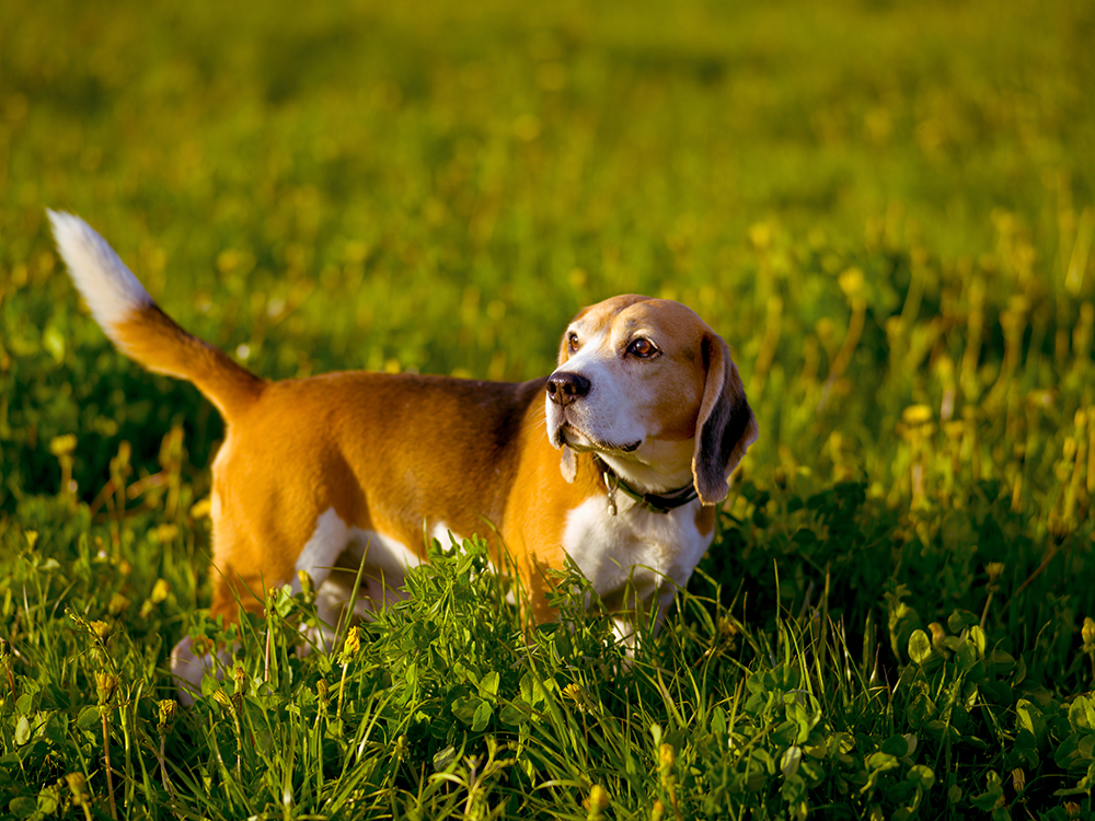 beagle lifespan