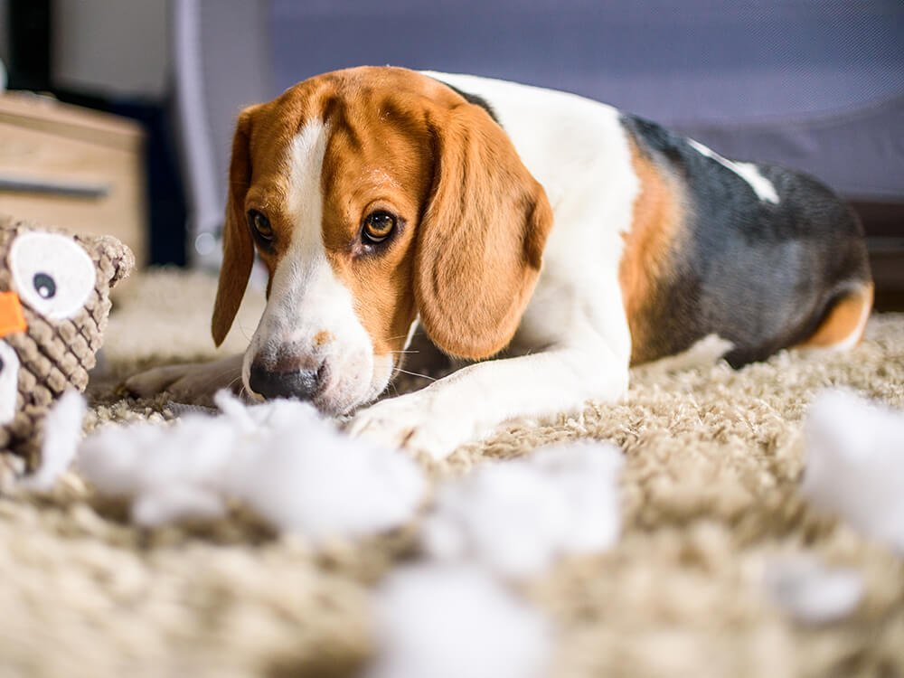 beagles love to dig