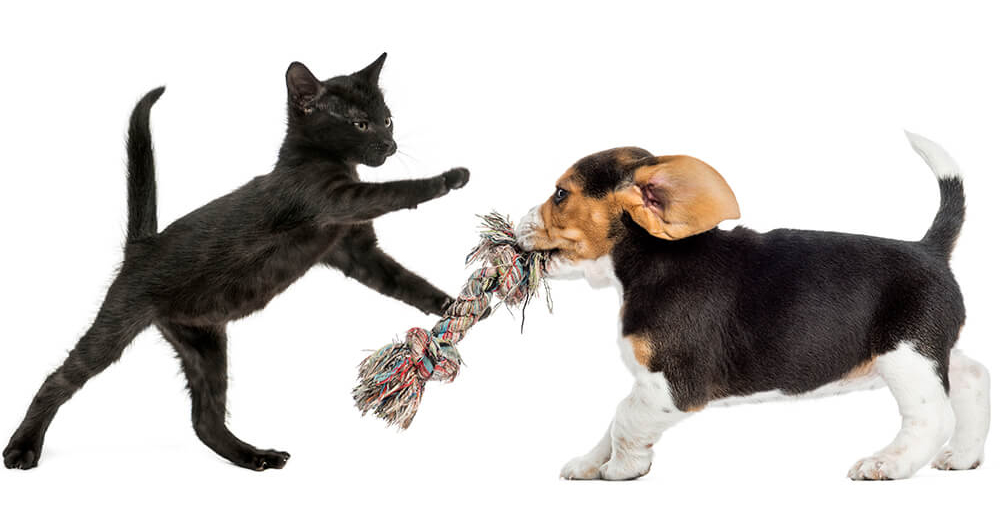 black kitten and beagle puppy playing with a toy