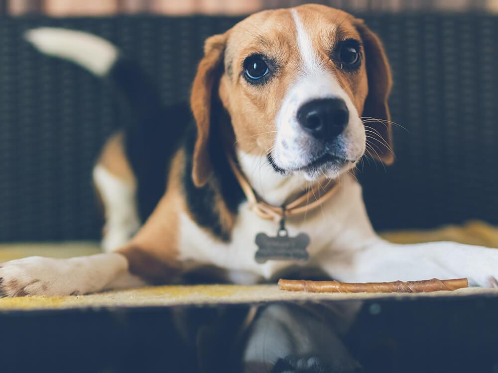 canine hip dysplasia in beagle