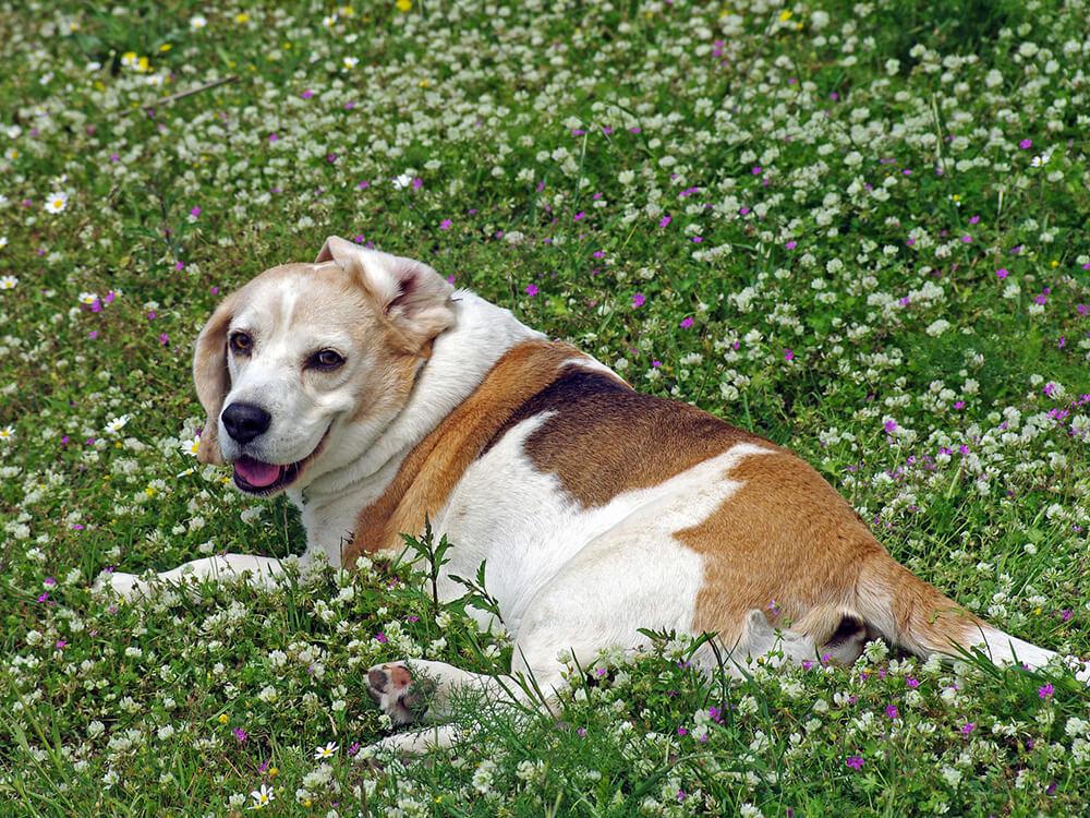 canine otitis externa in beagle