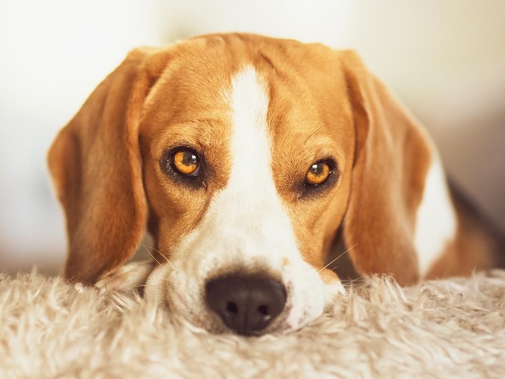 cherry eye in beagle