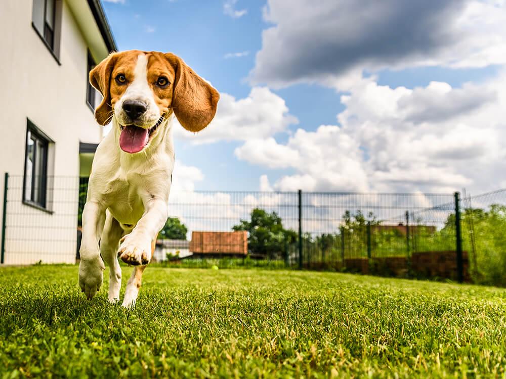 escaping beagle