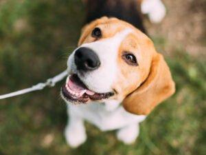 Foxhound vs Beagle: Dog Breed Comparison