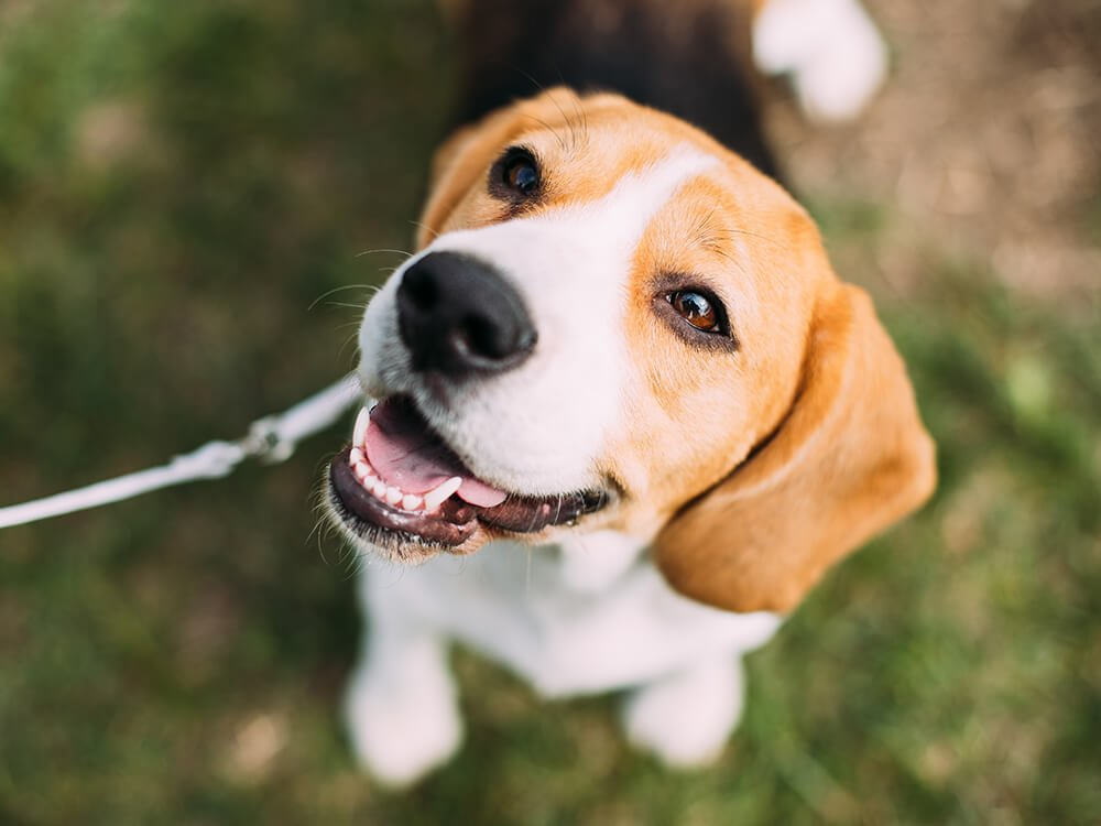 foxhound beagle mix