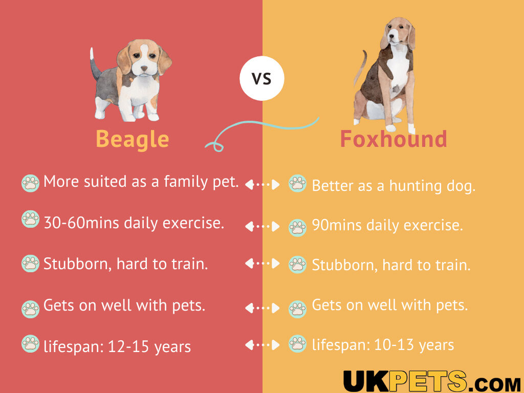 foxhound vs beagle