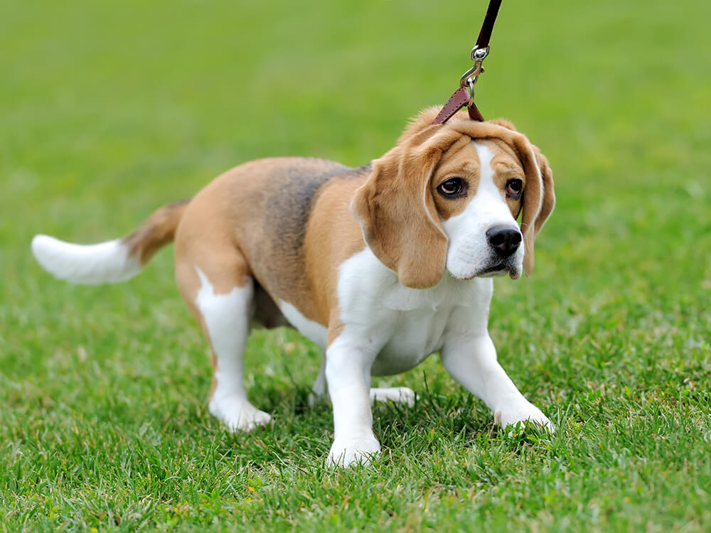 house train a beagle puppy