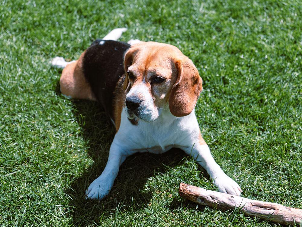 ivdd in beagle