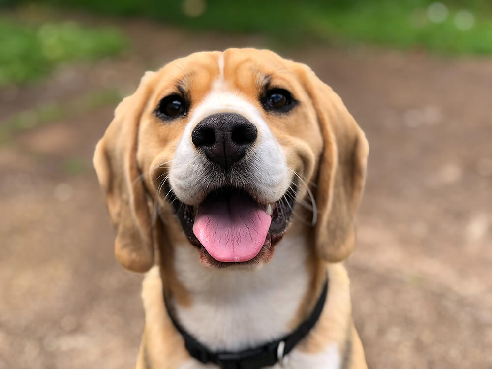 the pros and cons of owning a beagle 7
