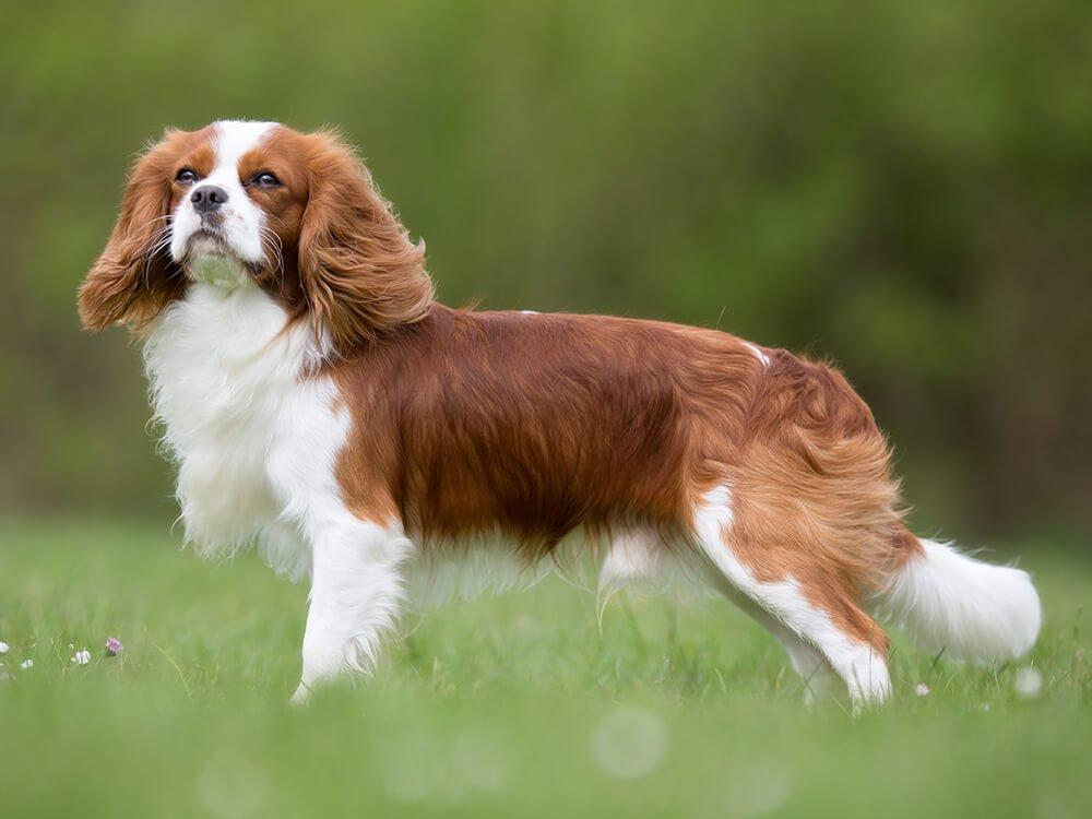 15th most popular dog breed cavalier king charles spaniel