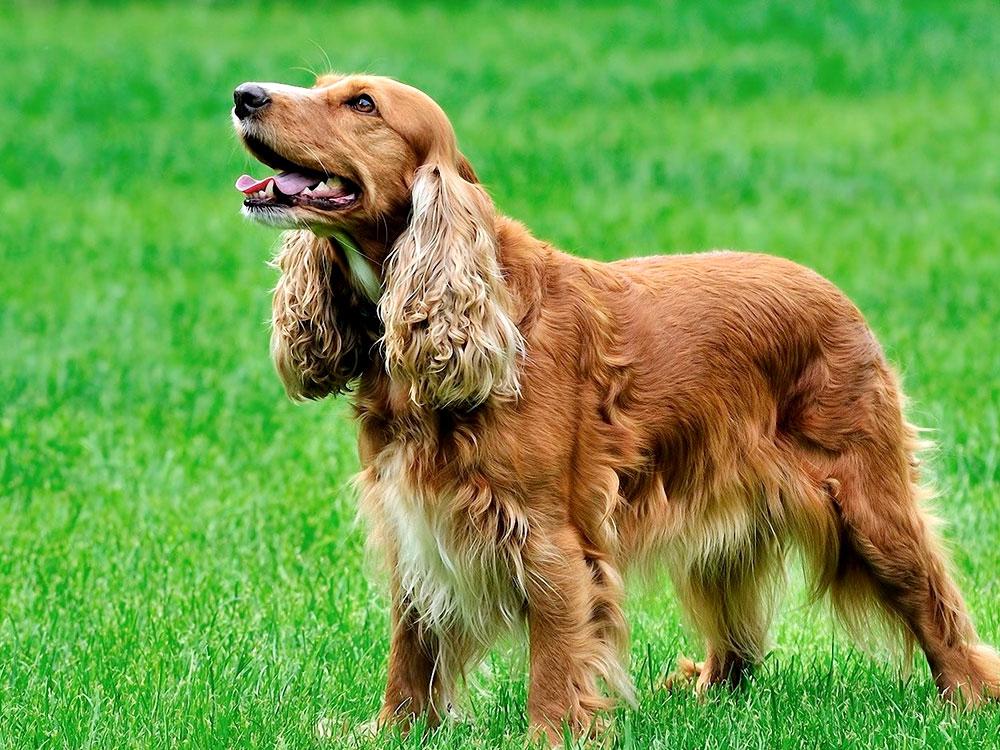 15th most popular dog breed cocker spaniel