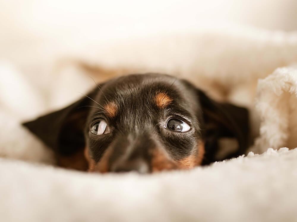 doberman pinscher puppy 1