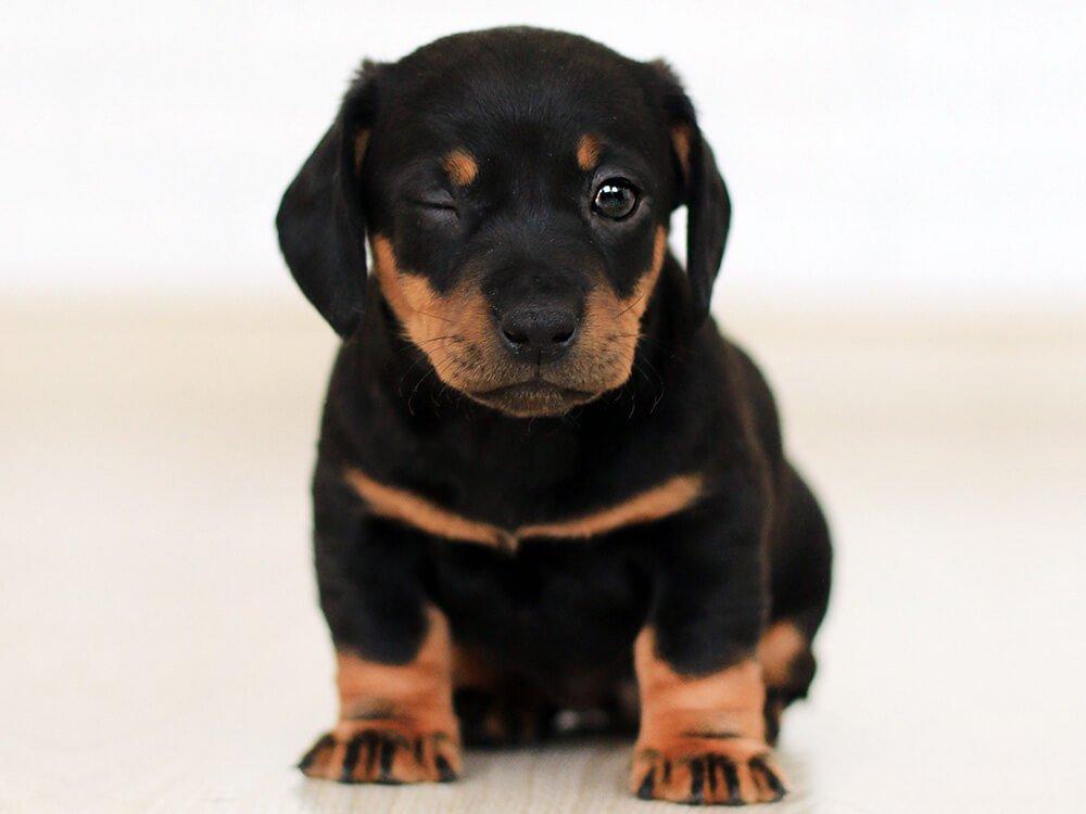 doberman pinscher puppy 2