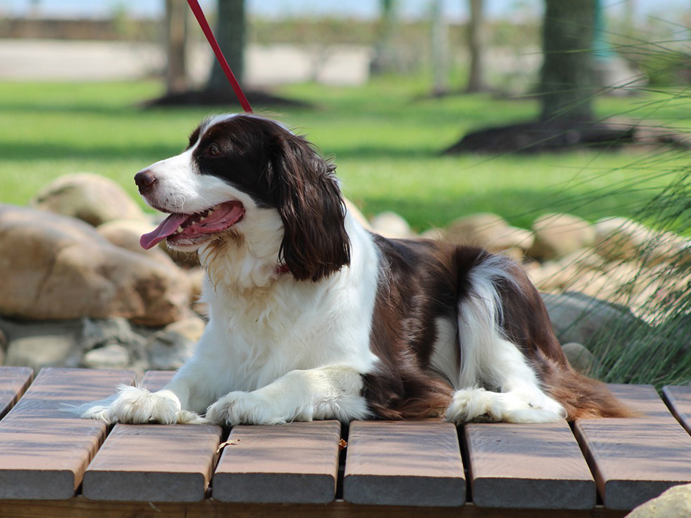 15th most popular dog breed english springer spaniel