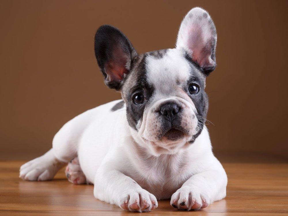 15th most popular dog breed french bulldog