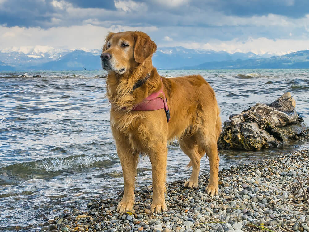 15th most popular dog breed golden retriever