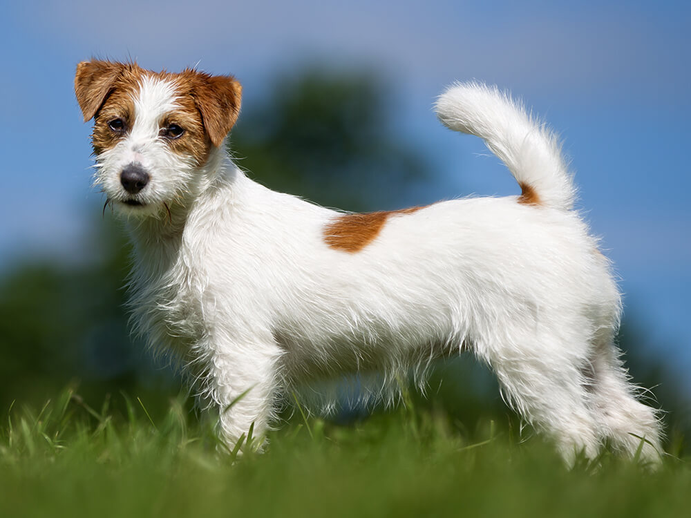 15th most popular dog breed jack russell