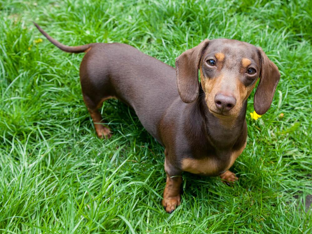 15th most popular dog breed miniature dachshund