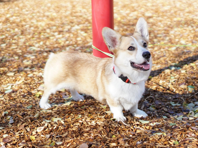15th most popular dog breed pembroke welsh corgi