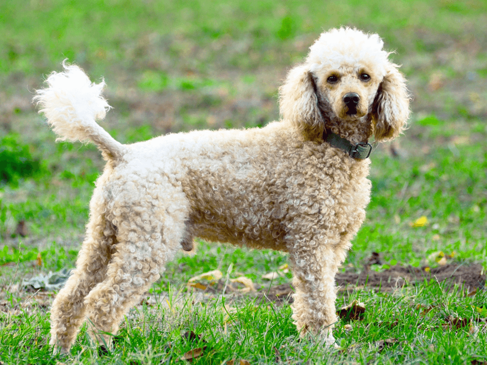 15th most popular dog breed poodle