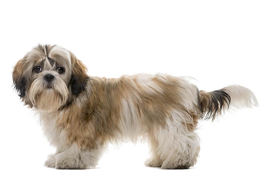 15th most popular dog breed shih tzu