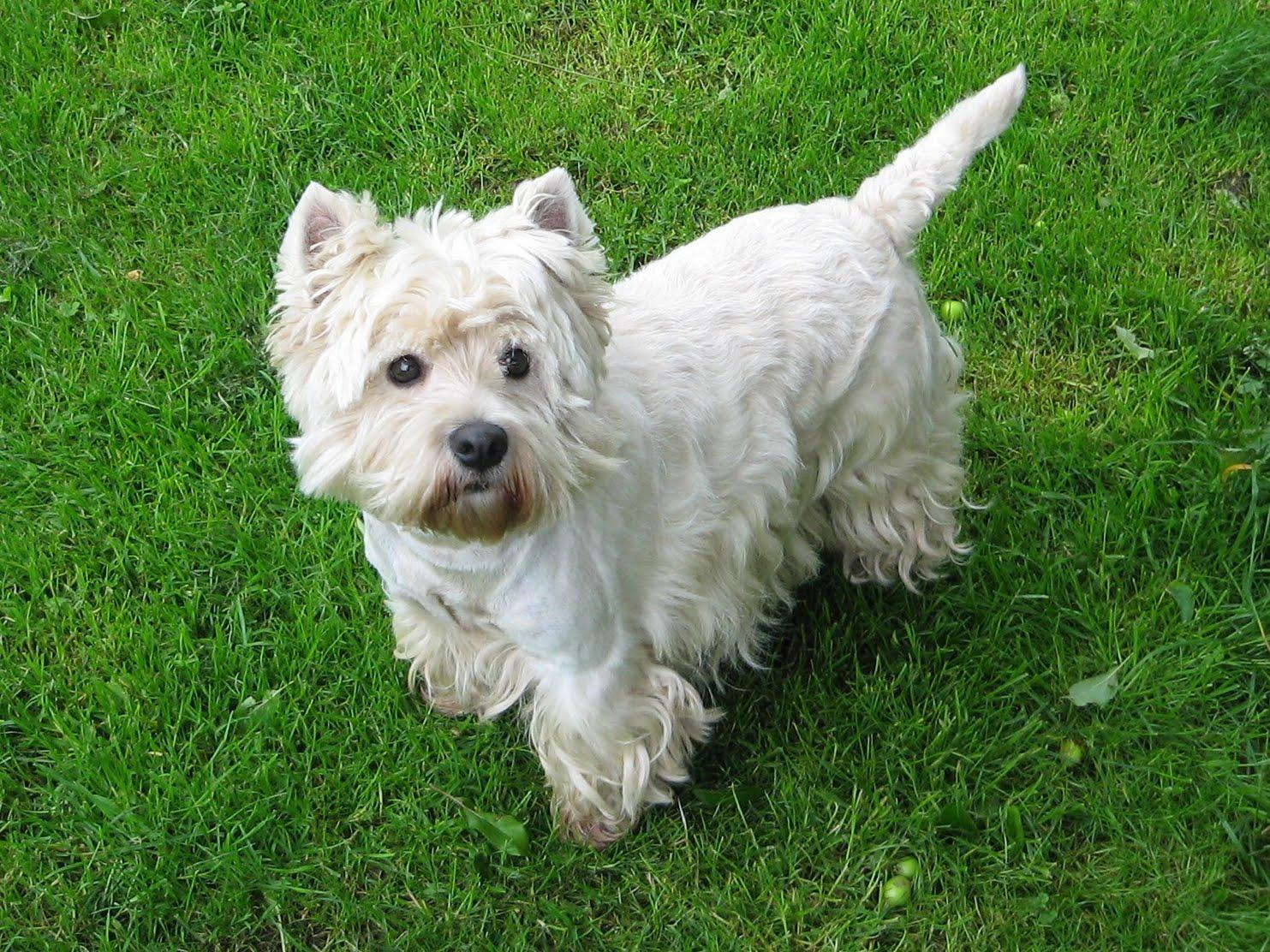 15th most popular dog breed west highland terrier