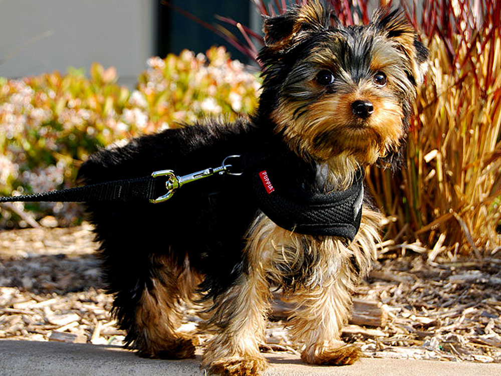 15th most popular dog breed yorkshire terrier
