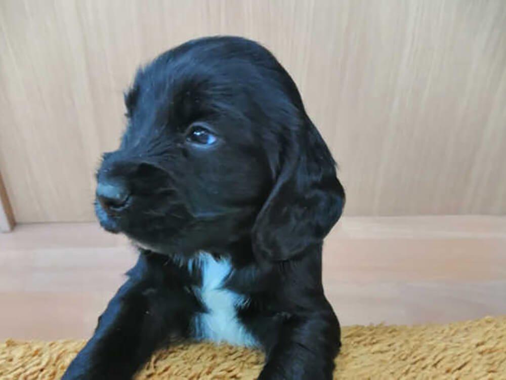 sprocker puppy training 4