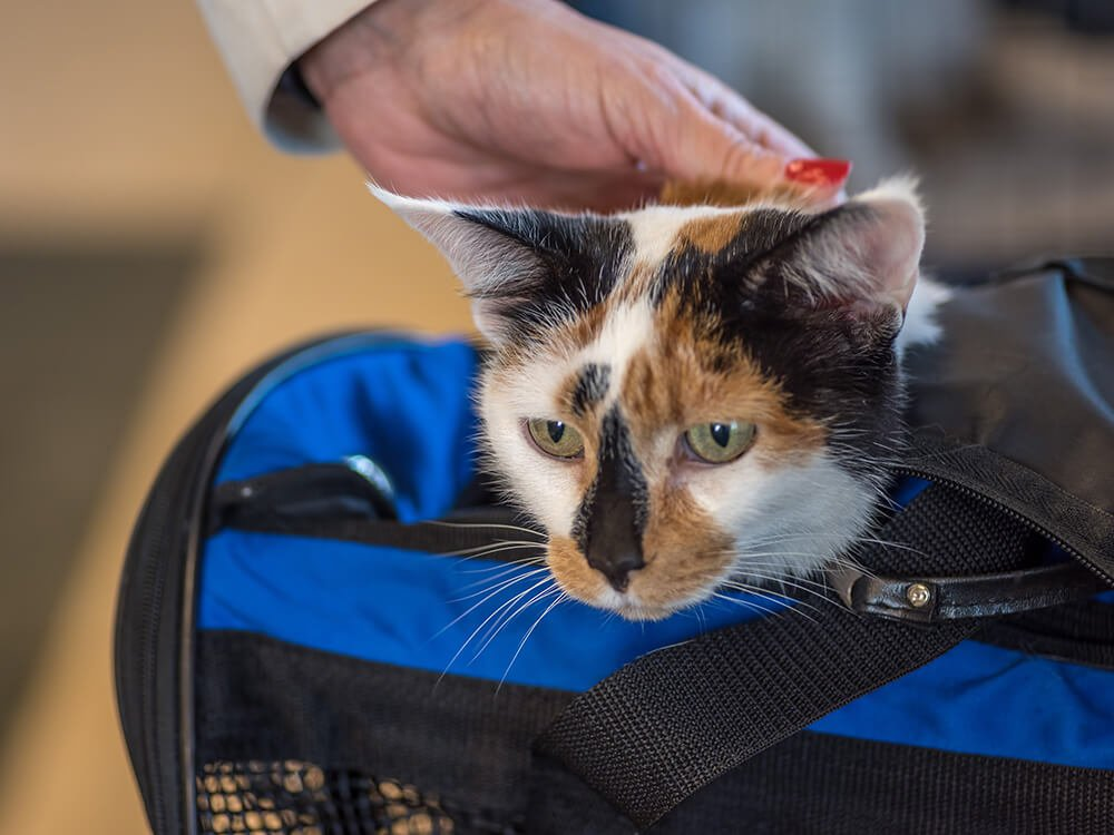 traveling with cat from uk