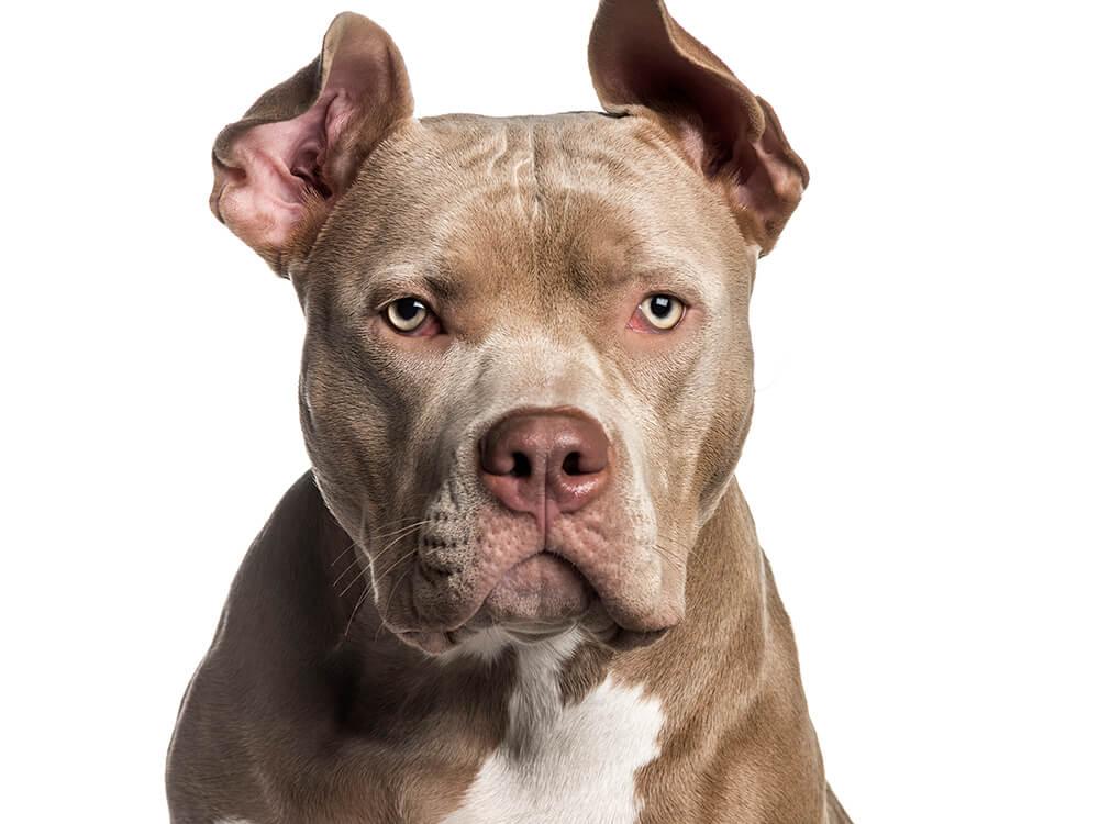 is an american bully a pitbull