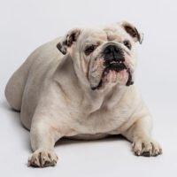 Are English Bulldog Good Pets?